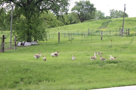 even the geese come out to play